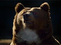ursul-brun-b